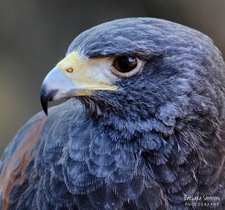 """Scout"" - Harris Hawk The Carolina Raptor Center ~ Huntersville, NC"