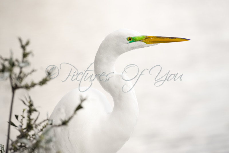 Great White Egret, Gatorland FL