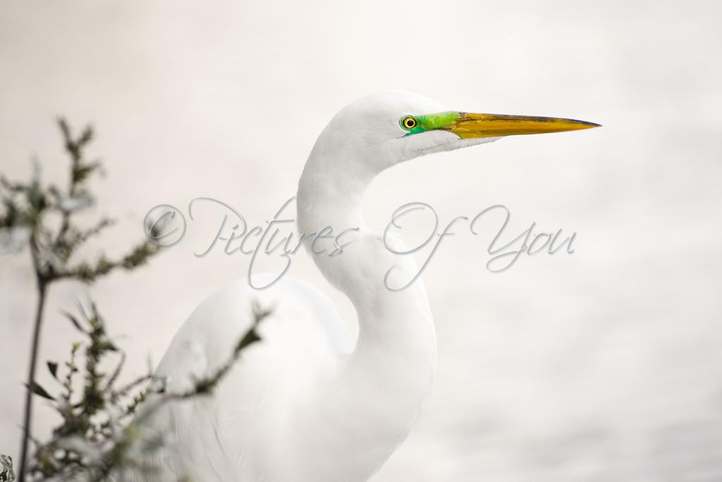 Great White Egret, Gatorland FL