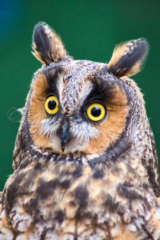 LEO - Long Earred Owl