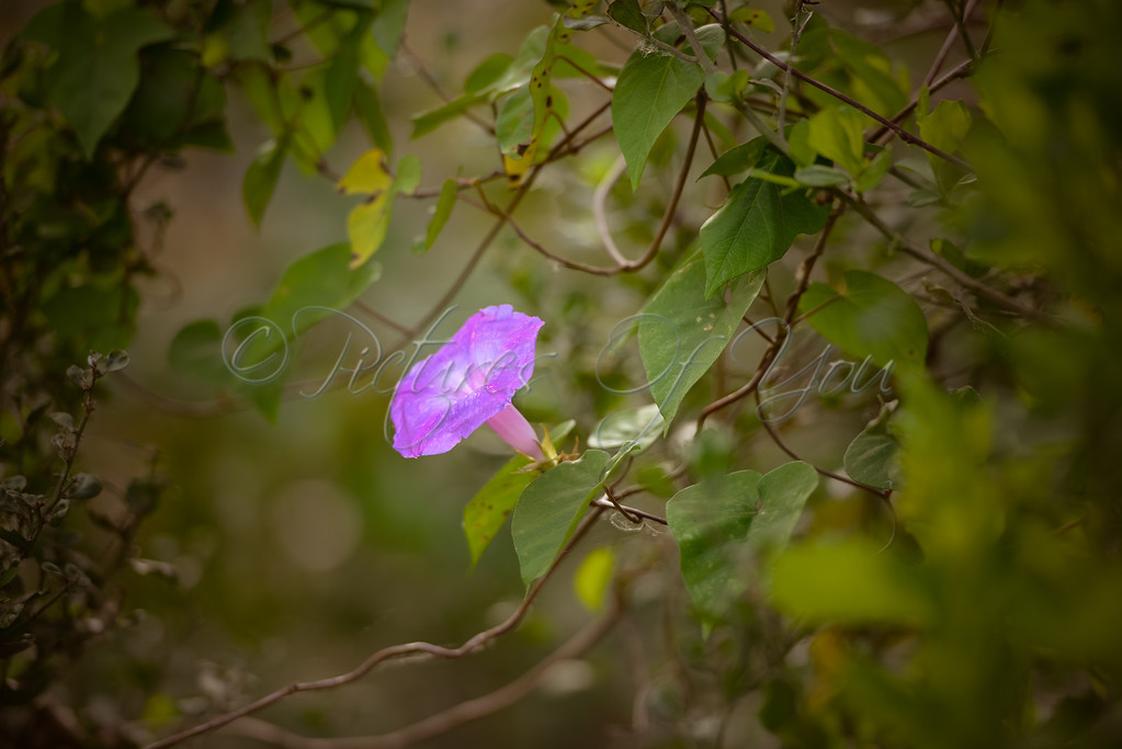 Oceanblue Morning Glory in the Everglades
