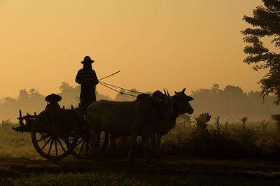 Misty Morning in the Countryside: The Bullock Cart