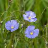 Bill_Tafuri-Wild Blue Flax
