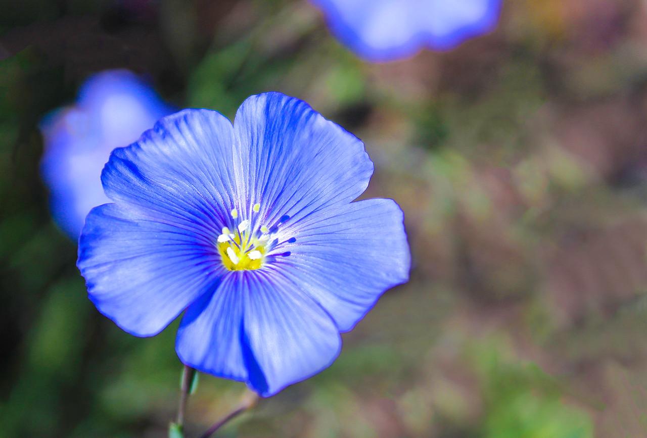 barbara_holdcroft-blue_belle jpg