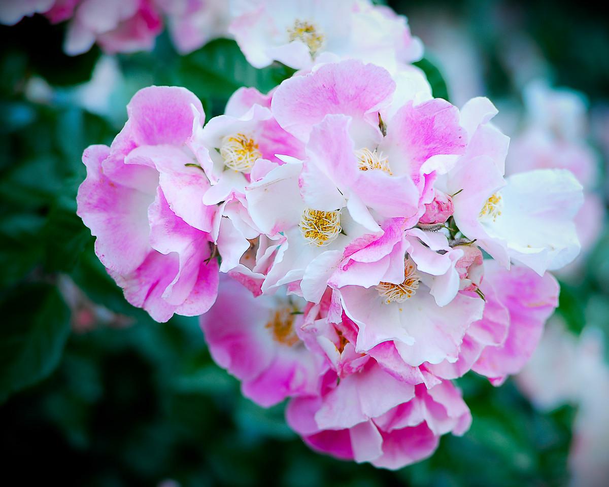 gretchen_faulk-Wild_Rose jpg