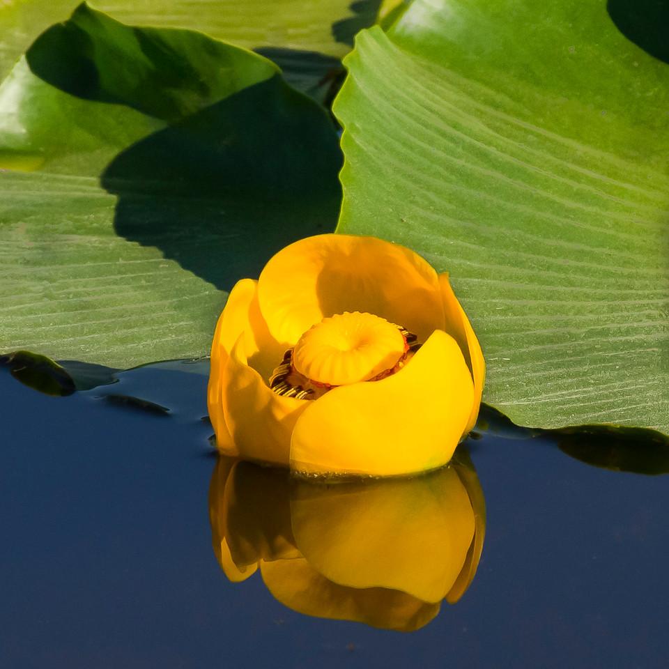 Bill_Tafuri-Indian Pond Lily