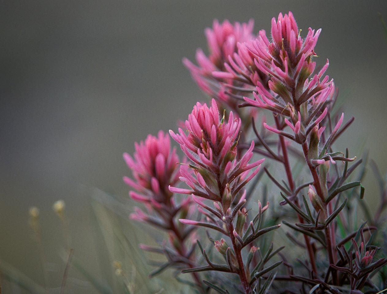 Jim_Parrish-DownyPaintbrush_Castilleja_sessiliflora