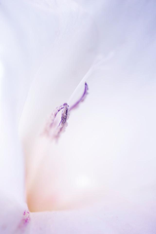 Dave_Boucher-White_Gladiola
