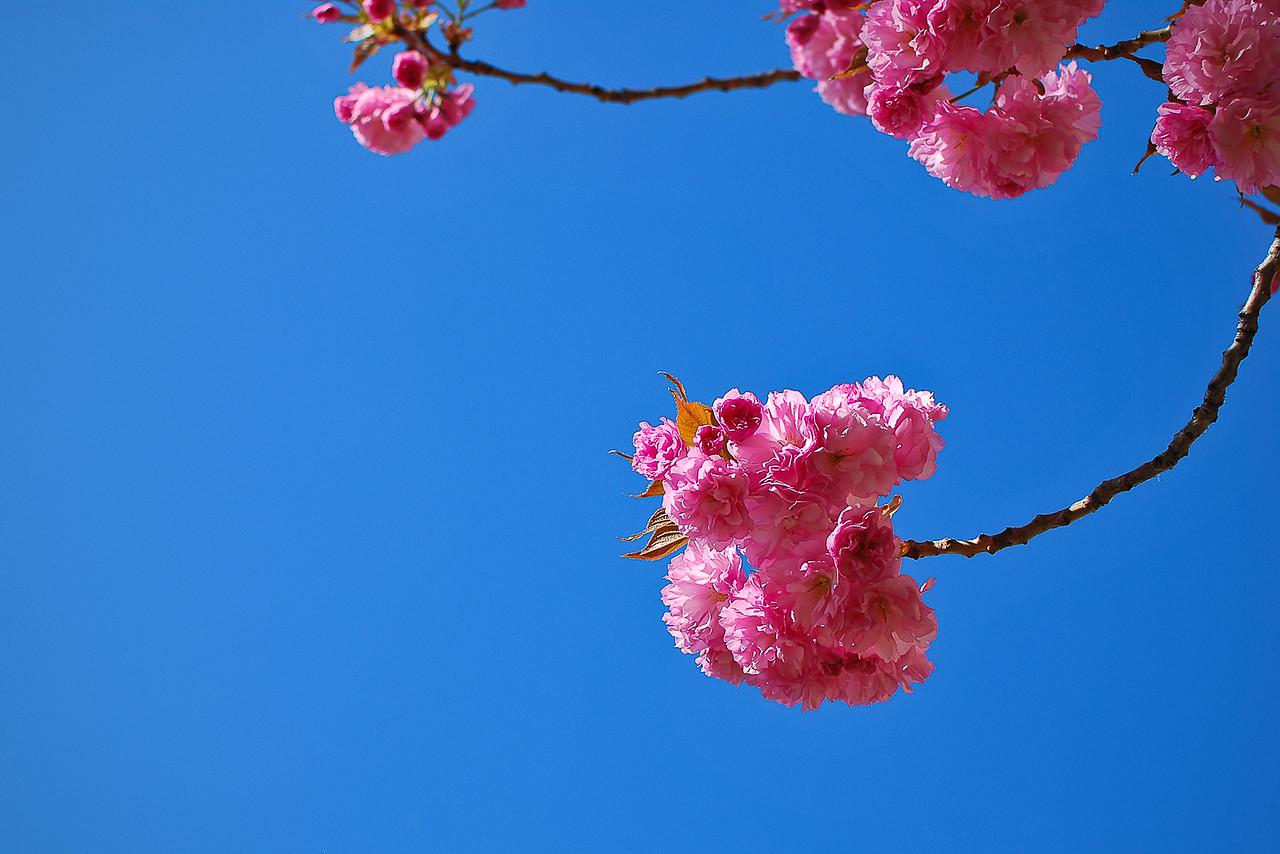 gretchen_faulk-Sakura jpg