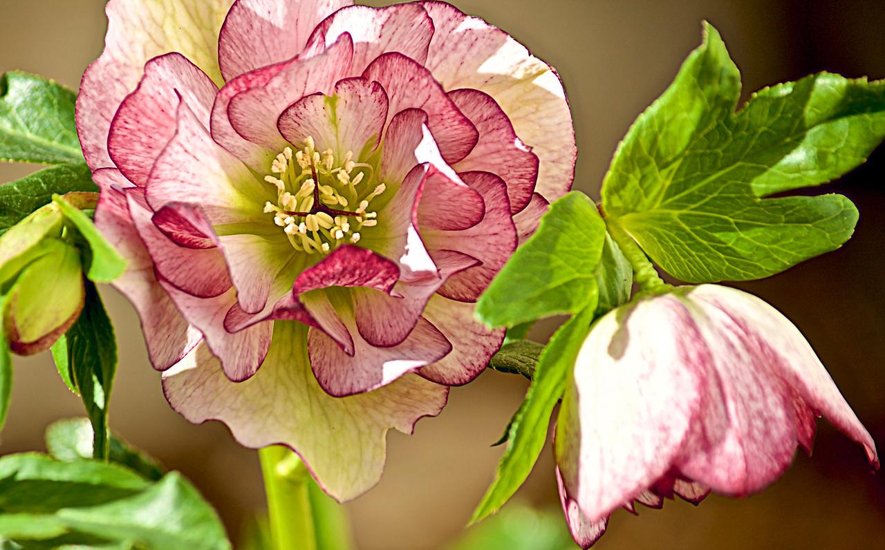 Lin_Cheong-Ice Lanten Rose