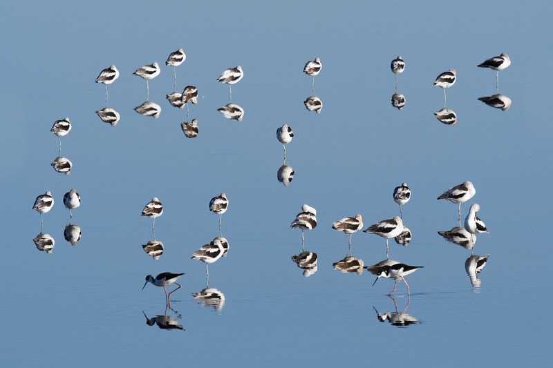 Barnett_Daniel_Avocets_and_Stilts