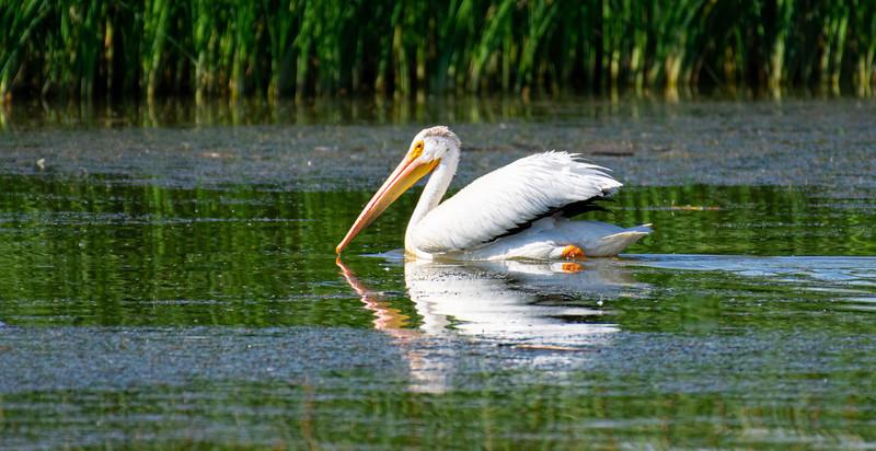 daltonwalker_linda_pelican