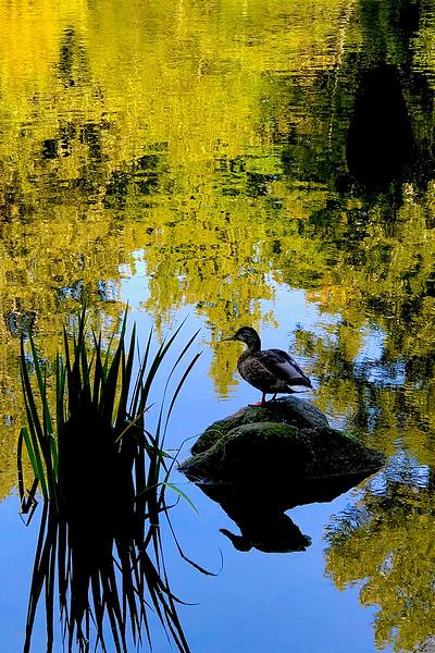 Lonczyna_Longin_Whatcom_Pond