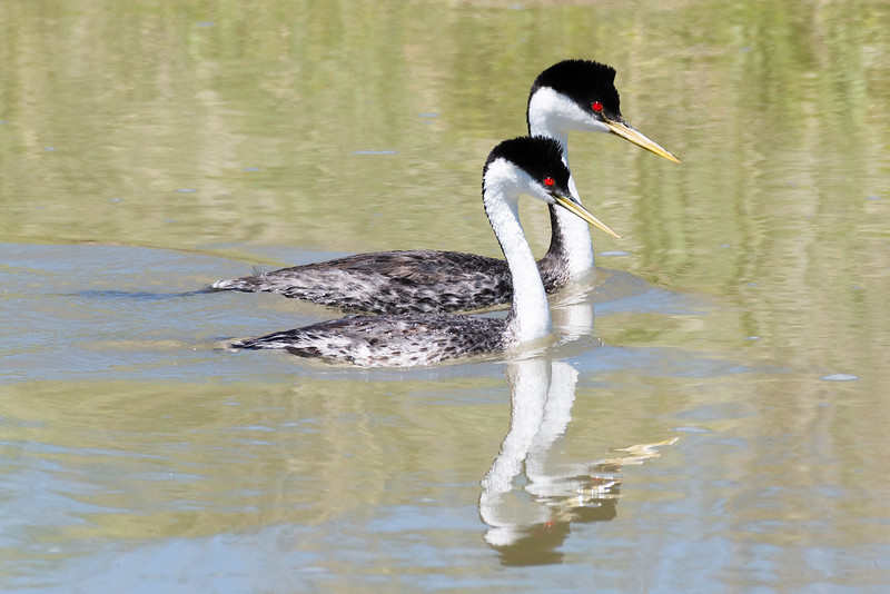 Roach_James_Grebe_Reflection