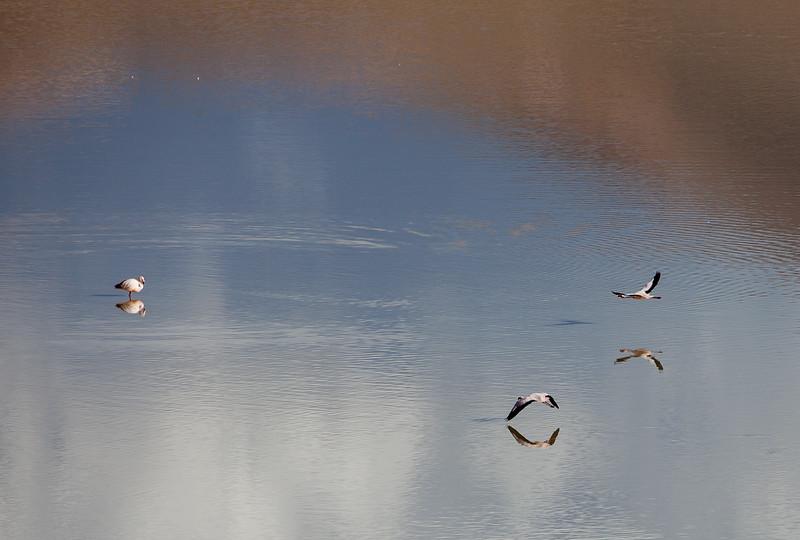 Ballard_John_Atacama Flamingoes