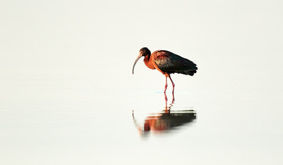 Eric_Vaughan-White_Faced_Ibis