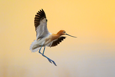 Eric_Vaughan-American_Avocet_Flight