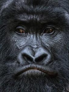 bill_silliman-rwanda_highland_gorilla