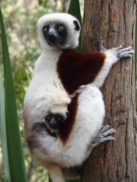 richard_koehn_lemur_and_baby