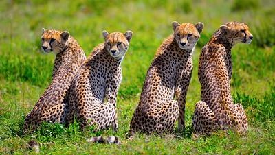 cheetahs four