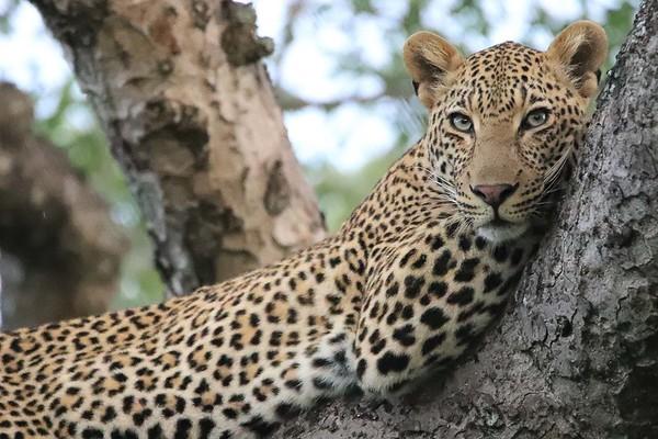 june_knight-Leopard