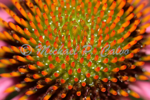 Heart of Echinacea