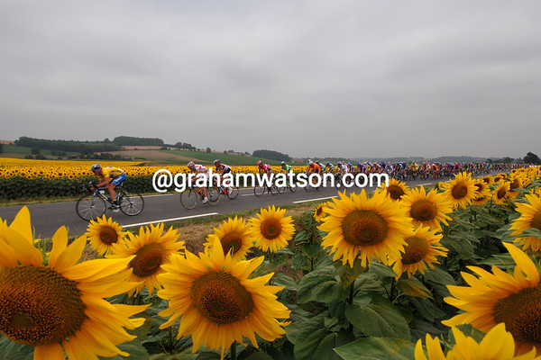 The 2005 Tour de France peloton speeds past sunflowers on its way into the Pyrenees.<br /> <br /> TREASURED IMAGE