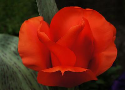 mary_whitesides-red_tulip