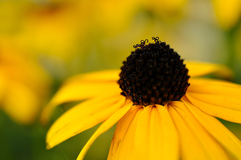 allie_porter-Brown_Eyed_Susan