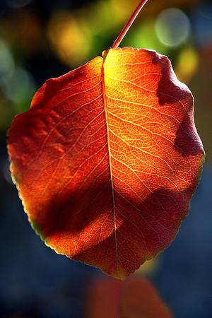 Brent Howcroft_Flowering Pear Leaf
