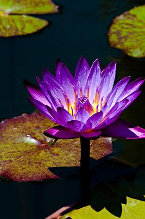 Dave_Boucher - Purple_Fire