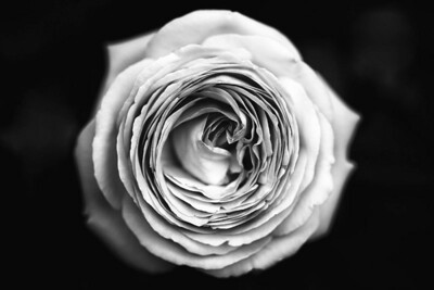 doug_powell-white_rose