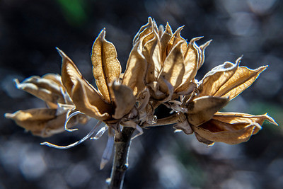 Brent Howcroft_Rose of Sharon Seed Pod