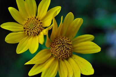allie_porter-mountain_daisies