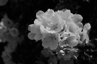 allie_porter-cherry_blossoms