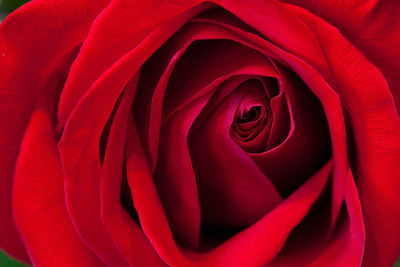 doug_powell-red_rose