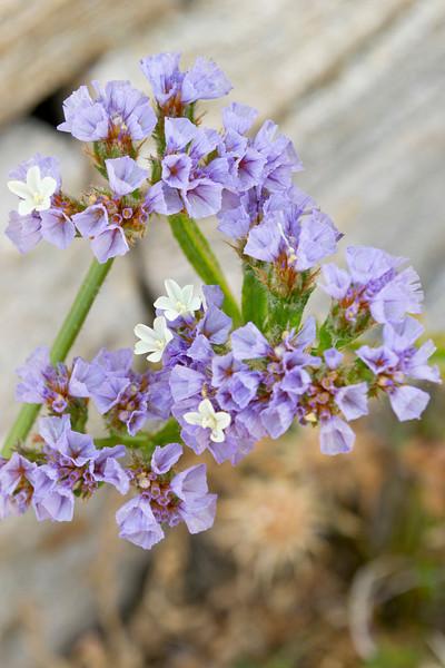 susan_jones-flowers_of_delos