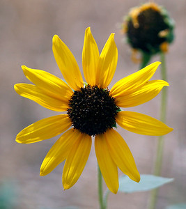 Carolyn_Fredrickson-sunflower