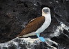 Terry_Madsen-Blue_Footed_Booby