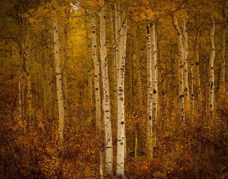 Larry_Whittaker-Autumn_Quakie_Grove