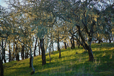 mary_whitesides-mossy_trees
