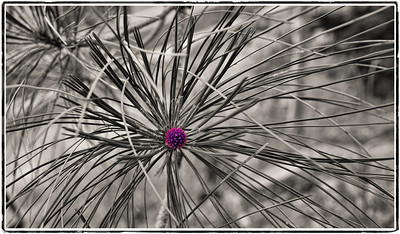 Shayne_Shaw-Tree_urchin