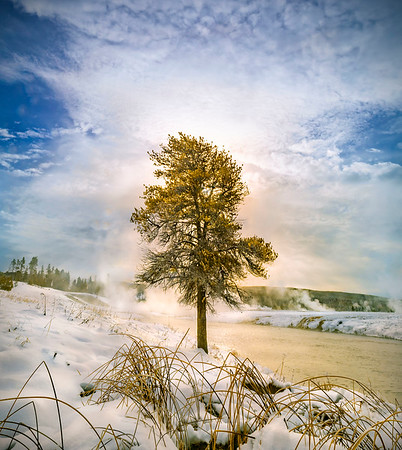 Paul_Harrison-Tree_in_Yellowstone