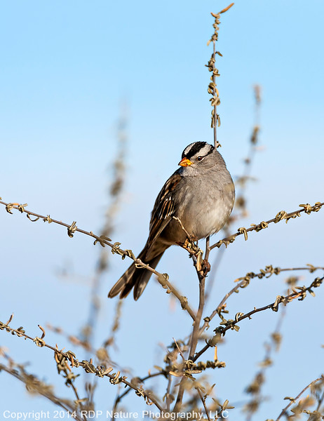 DickPick_White_Crowned_Sparrow_121814_3930
