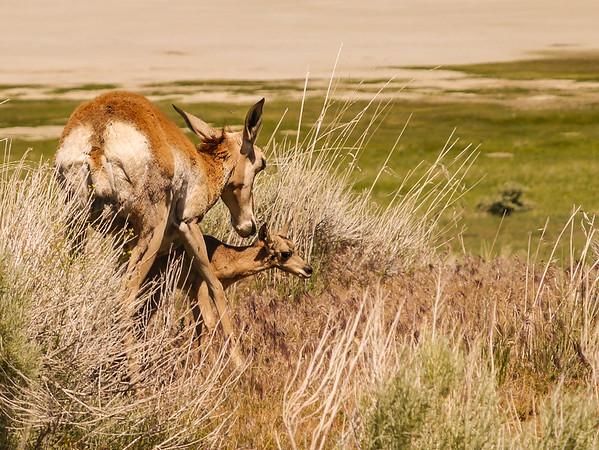 Mother Love on Antelope Island