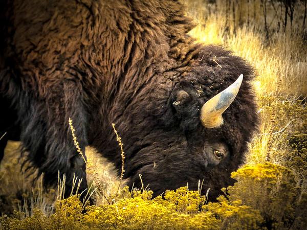 DarrellSmith-buffalo eating for Saline Solution