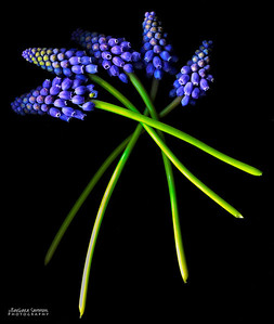 Twists of Muscari - Grape Muscari