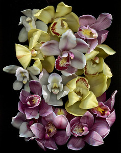 A Symphony of Orchids - Catalog #3017