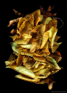 """Just Leaves-Catalog #099; Print, matted and framed to 24""""x33"""""""