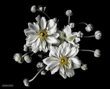Anemone Trio - White Anemones
